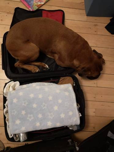 Boxer in the luggage